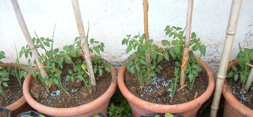 Coltivare pomodori in vaso quali le dimensioni minime for Piante pomodori in vaso