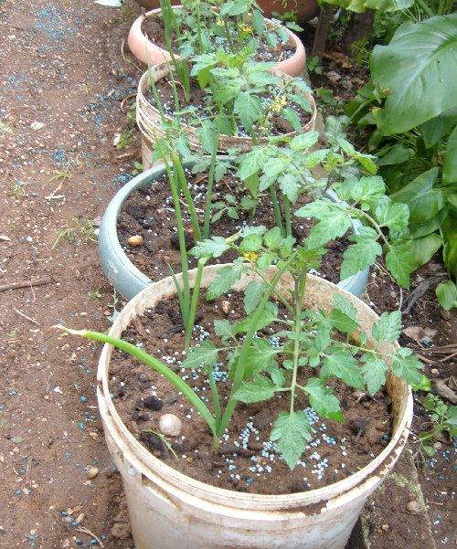 Coltivare pomodori in vaso quali le dimensioni minime for Coltivare cipolle