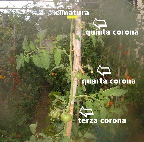 Coltivare pomodori cimare e sfogliare i pomodori note - Come coltivare il basilico in casa ...