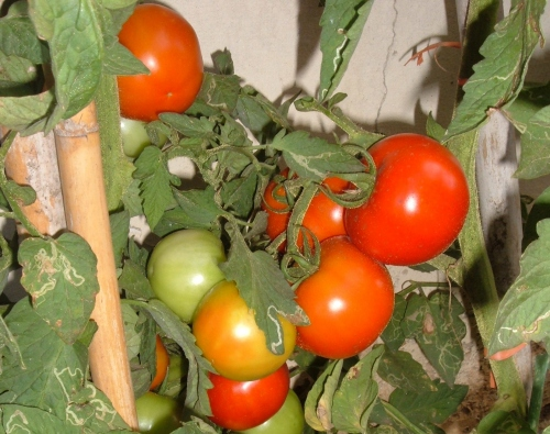 Seminare pomodori con l aiuto dei dischetti di torba for Trapianto pomodori