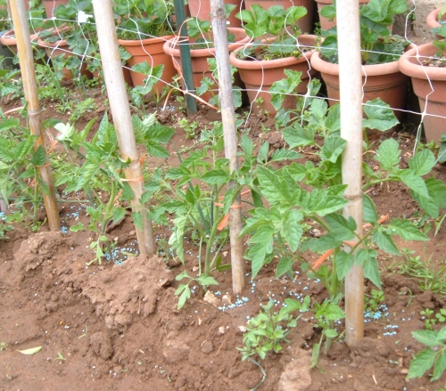 Pomodori nell orto vademecum del perfetto coltivatore for Piante pomodori in vaso