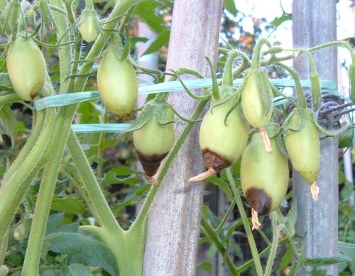 Marciume apicale dei pomodori una avversit poco for Malattie pomodoro