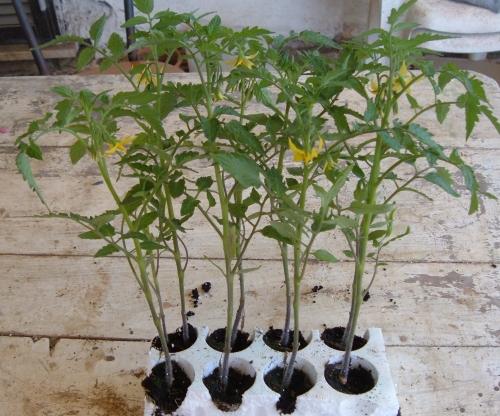 Coltivare pomodori coltivare pomodori for Trapianto pomodori
