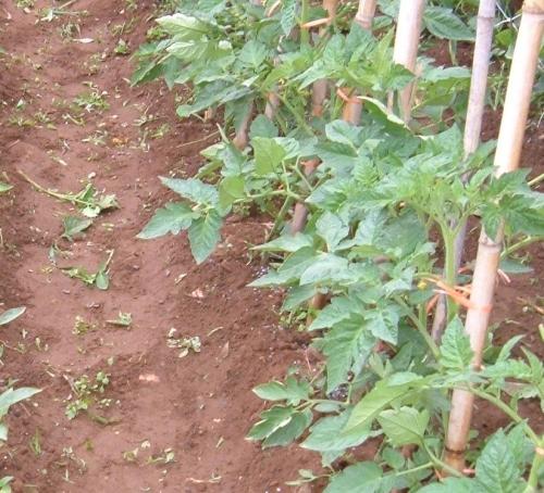 Coltivare i pomodori colonizzatori urbani for Trapianto pomodori