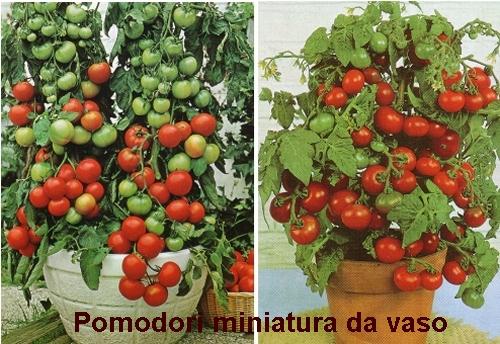 Coltivare i pomodori colonizzatori urbani for Piantare pomodori