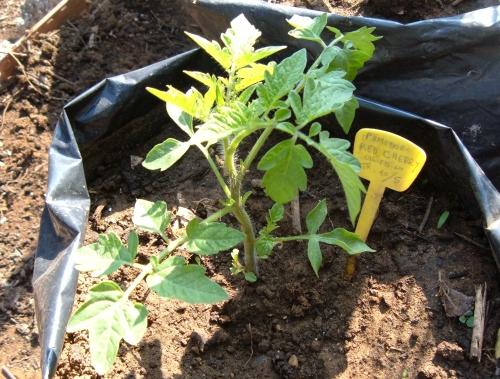 I pomodori nani da coltivare nell orto o sul balcone for Piante pomodori in vaso