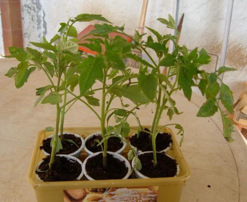 Trapiantare con successo i pomodori coltivare pomodori for Piantine orto prezzi