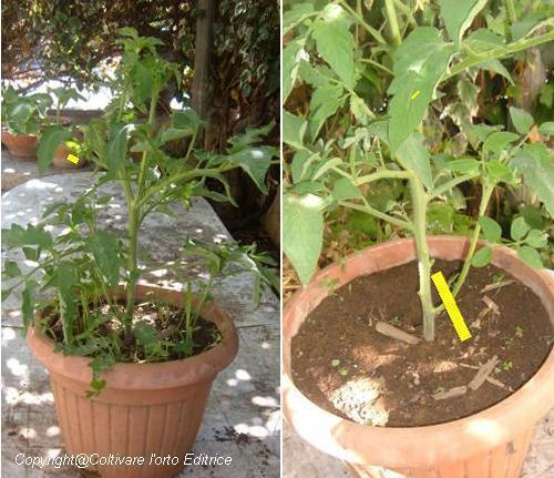 Trattamento nella crescita del pomodoro nero di crimea la - Peperoncino pianta perenne ...